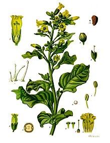 Nicotiana rustica - Köhler–s Medizinal-Pflanzen-226.jpg